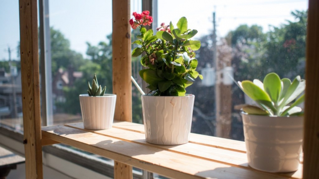 A row of three plants on a shelf near a sunny window